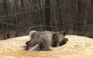 raccoon in stump hole