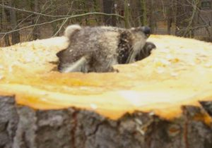 racoon poking out of stump