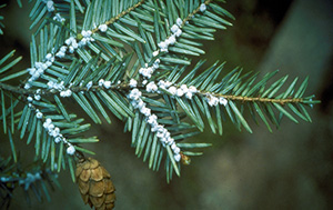 disease on pine tree