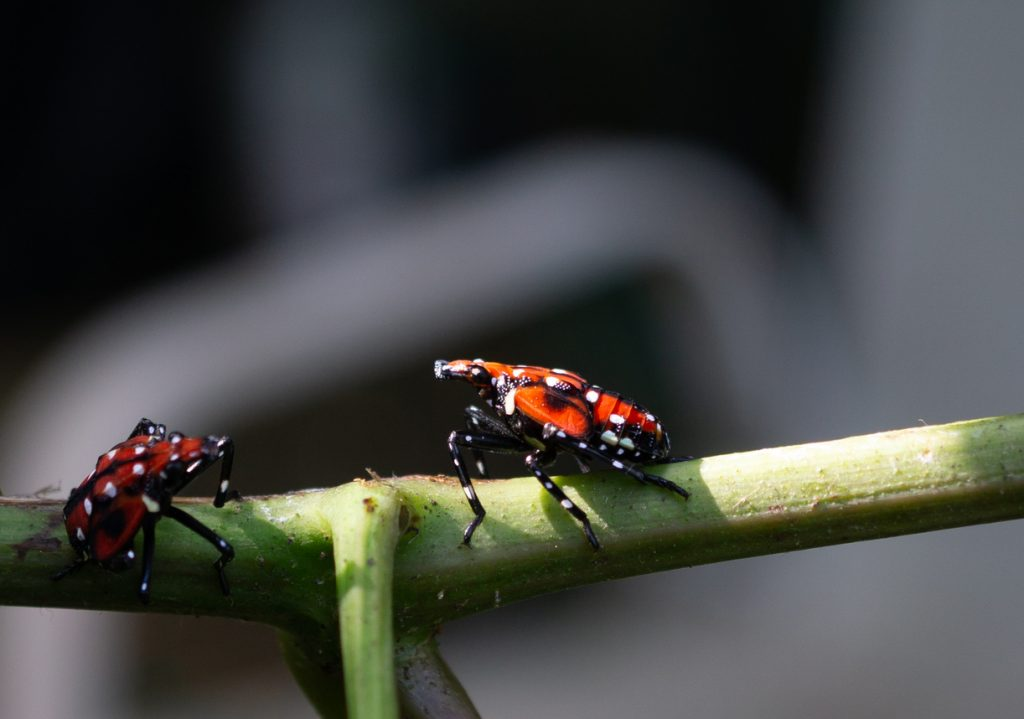 What To Know About The Spotted Lanternfly 2