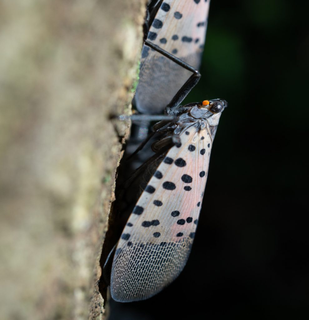 What To Know About The Spotted Lanternfly 3