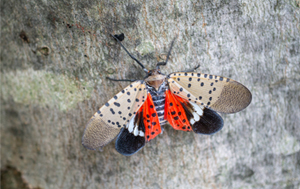 What To Know About The Spotted Lanternfly 1