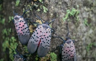 What To Know About The Spotted Lanternfly 8