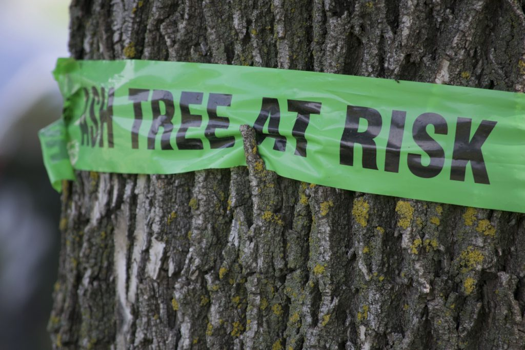 Emerald Ash Borer: What It Means For Your Trees 4