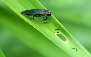 Emerald Ash Borer: What It Means For Your Trees 7