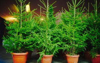 How to Plant A Potted Christmas Tree 1