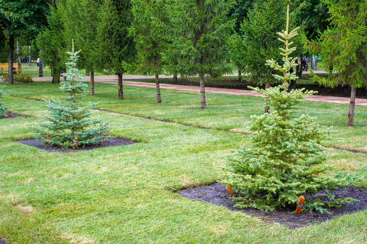 How to Plant A Potted Christmas Tree 3